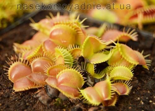 "Dionaea muscipula ""Moon trap"""