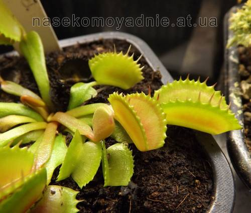 "Dionaea muscipula ""Belzebut"""