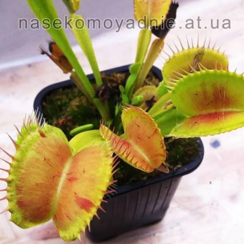 """Dionaea muscipula """"Vft patche"""""""