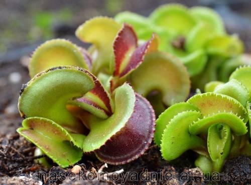 """Dionaea muscipula """"Cudo"""""""
