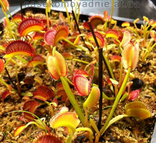 "Dionaea muscipula ""Short teeth"""