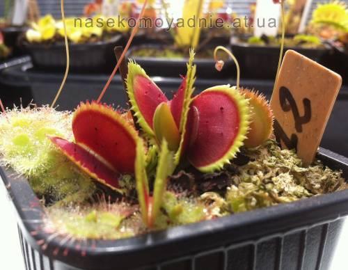 """Dionaea muscipula """"Bristtle tooth"""""""