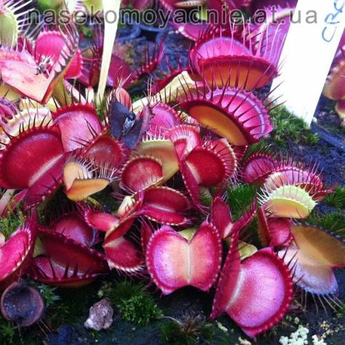 "Dionaea muscipula ""Cross teeth"""