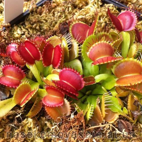 "Dionaea muscipula ""Mikkiki"""