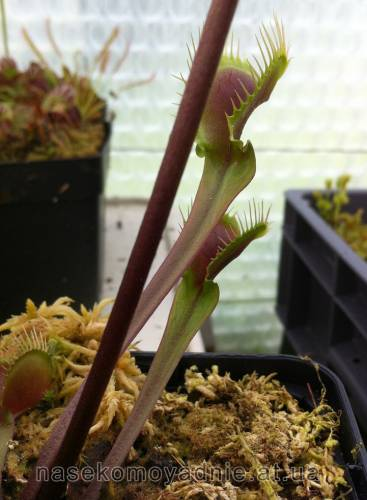 "Dionaea muscipula ""Red fused petiole"""