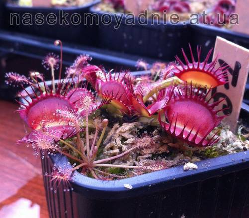"Dionaea muscipula ""Cross teeth #1"""