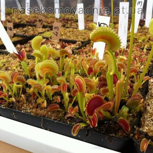 "Dionaea muscipula ""Dentate trap (cz plants)"""