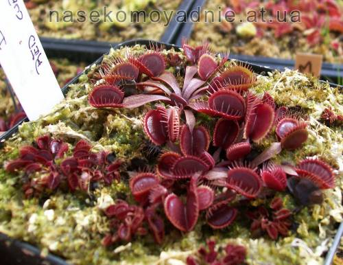 "Dionaea muscipula ""Red cup trap"""