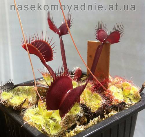 "Dionaea muscipula ""All red"""