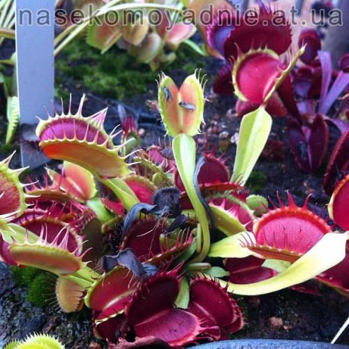 """Dionaea muscipula """"Fused tooth perso"""""""
