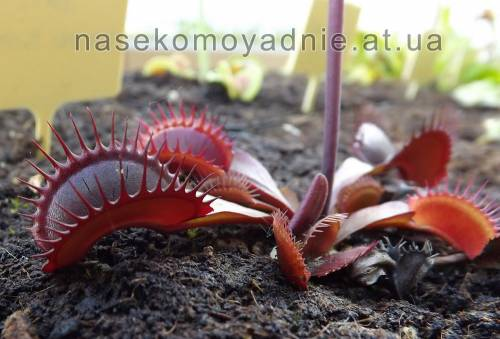 "Dionaea muscipula ""Red shart teeth"""