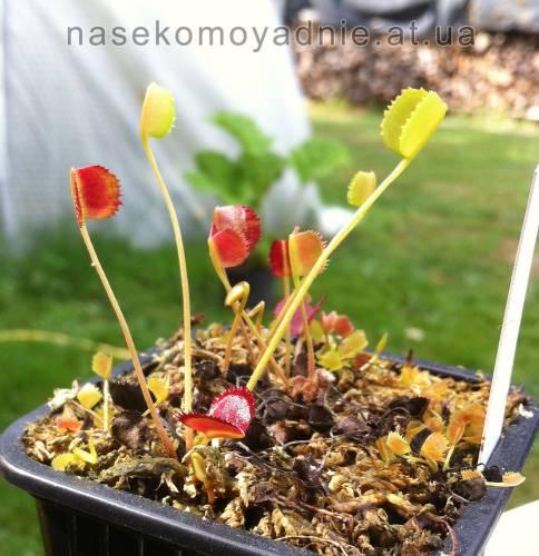 """Dionaea muscipula """"Korean melody skark"""""""