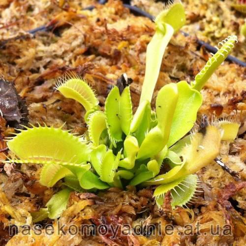 "Dionaea muscipula ""Korrigan"""