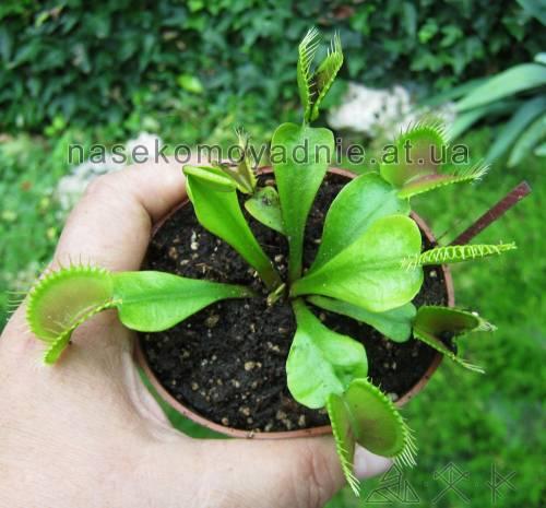 Dionaea muscipula (типичная форма)