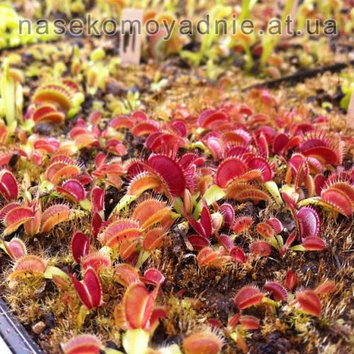 "Dionaea muscipula ""Giant big mouth"""