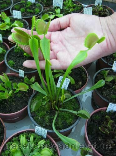 "Dionaea muscipula ""Darwin"""