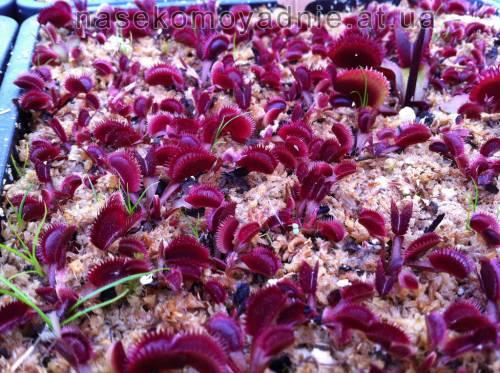 """Dionaea muscipula """"Bohemian Garnet"""""""