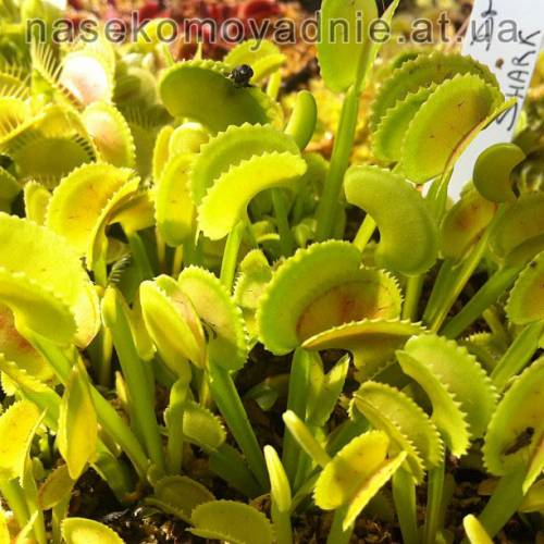 "Dionaea muscipula ""Shark teeth"" (C.k)"