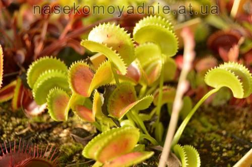 """Dionaea muscipula """"X11"""""""