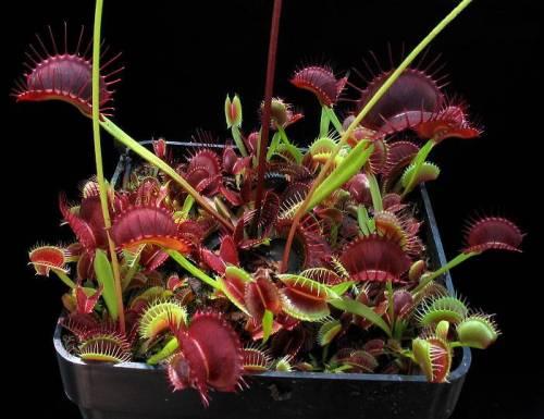 """Dionaea muscipula """"H13"""""""