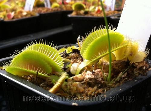 """Dionaea muscipula """"Cluster trap"""""""