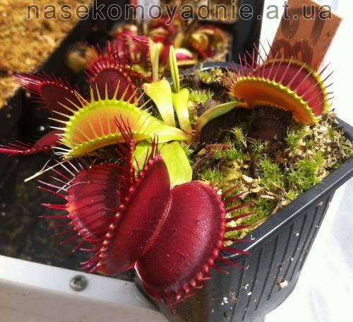 """Dionaea muscipula """"Clone F"""""""