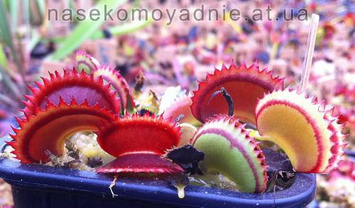 "Dionaea muscipula ""Dracula"""