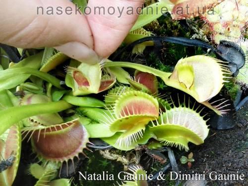 "Dionaea muscipula ""Mirror"""