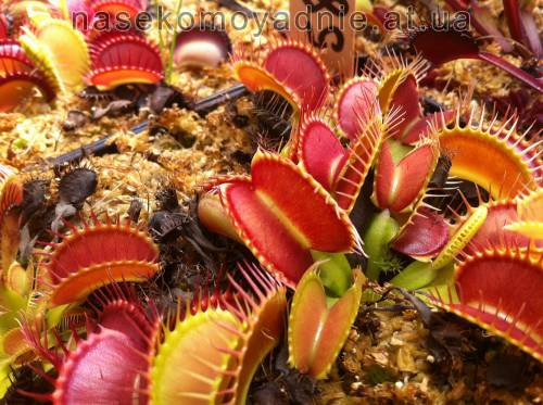 "Dionaea muscipula ""Giant rosseted"""