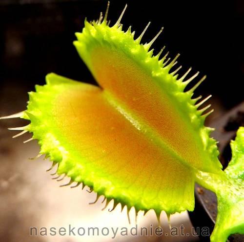 """Dionaea muscipula """"Kinky wave"""""""