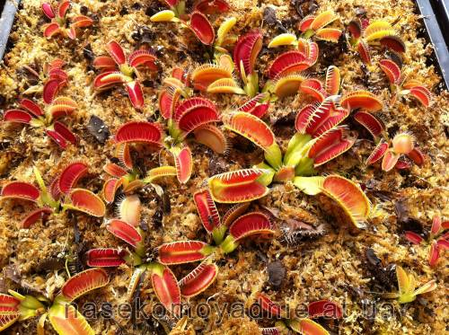 "Dionaea muscipula ""Louchapate"""