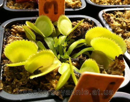 "Dionaea muscipula ""Green sawtooth"""