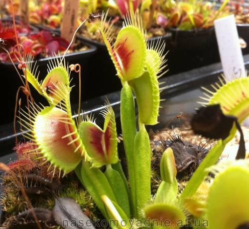 """Dionaea muscipula """"Clone A"""""""