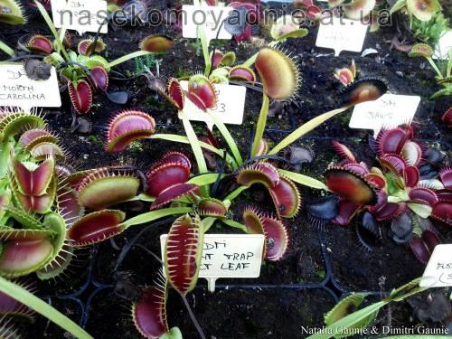 """Dionaea muscipula """"X03"""""""