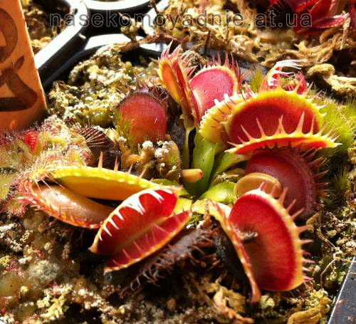 "Dionaea muscipula ""Multidents"""