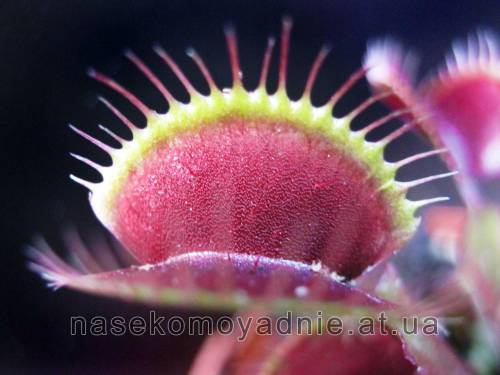 "Dionaea muscipula ""Clayton's Volcanic Red"""