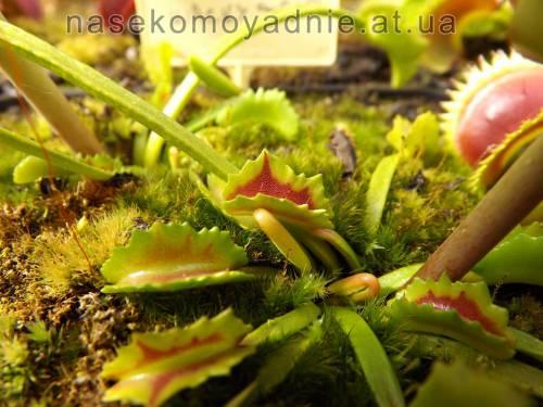 "Dionaea muscipula ""Wacky trap"""