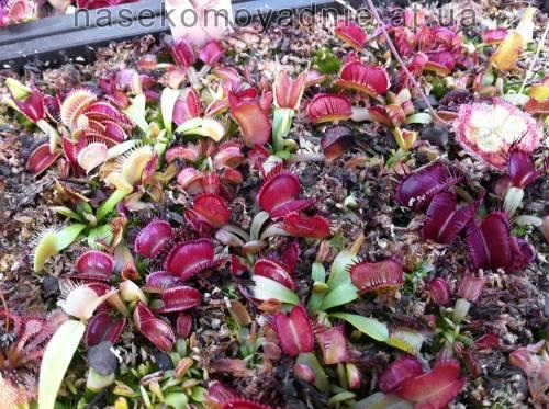 "Dionaea muscipula ""Fondue"""