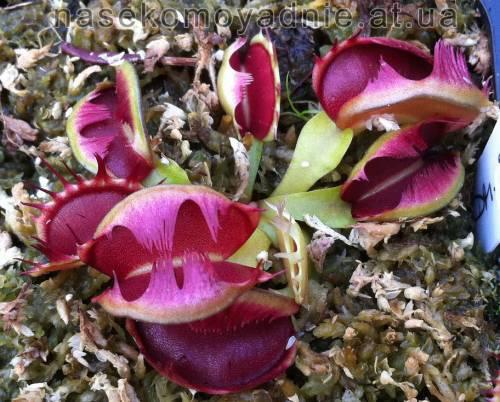 """Dionaea muscipula """"Fused tooth"""""""