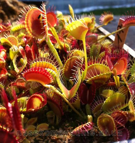 "Dionaea muscipula ""Funnel trap"""