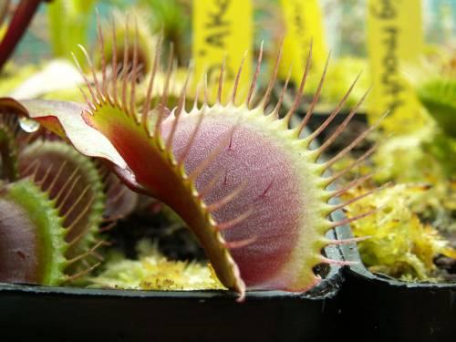 """Dionaea muscipula """"Akai Ryu"""""""