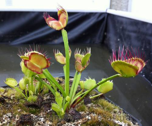 "Dionaea muscipula ""Cross teeth #2"""