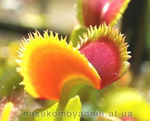 """Dionaea muscipula """"Sawtooth"""""""