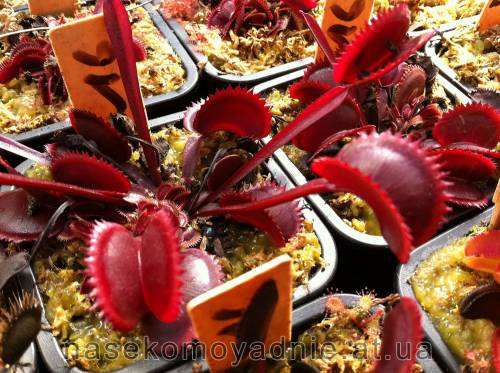 "Dionaea muscipula ""Red piranha"""