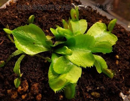 "Dionaea muscipula ""WB3"""