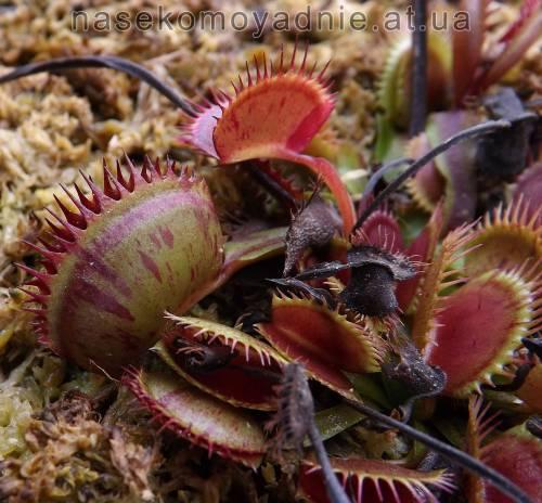 """Dionaea muscipula """"Spotty"""""""