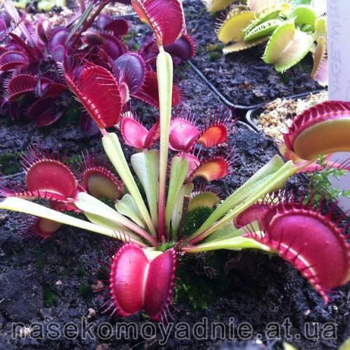 """Dionaea muscipula """"Fine tooth x red clone 1"""""""