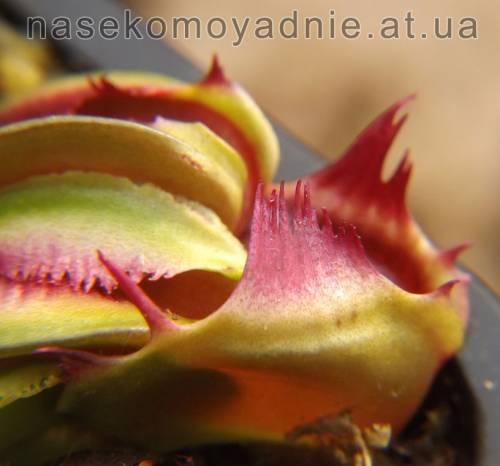 "Dionaea muscipula ""Fussy tooth"""