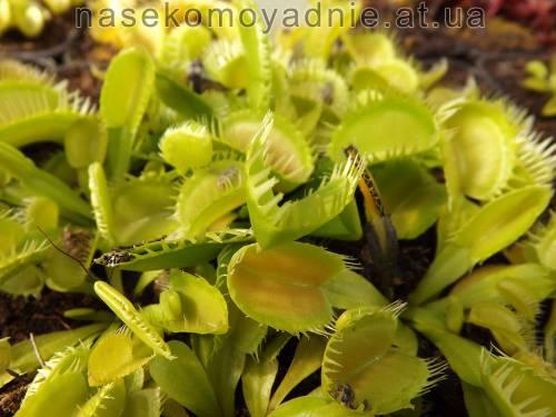 """Dionaea muscipula """"Triton"""""""