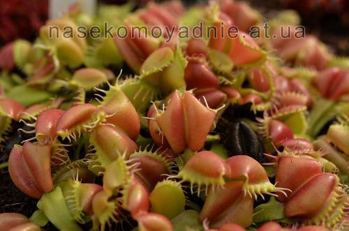 "Dionaea muscipula ""Angel Wings"""